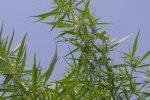 Republican Gov. Scott Walker has Signed a Bill That Legalizes Growing of Industrial Hemp