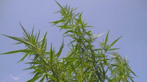 Republican Gov. Scott Walker has Signed a Bill That Legalizes Growing of Industrial Hemp