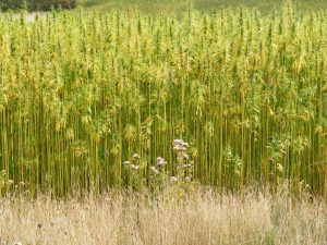 Industrial hemp for fiber