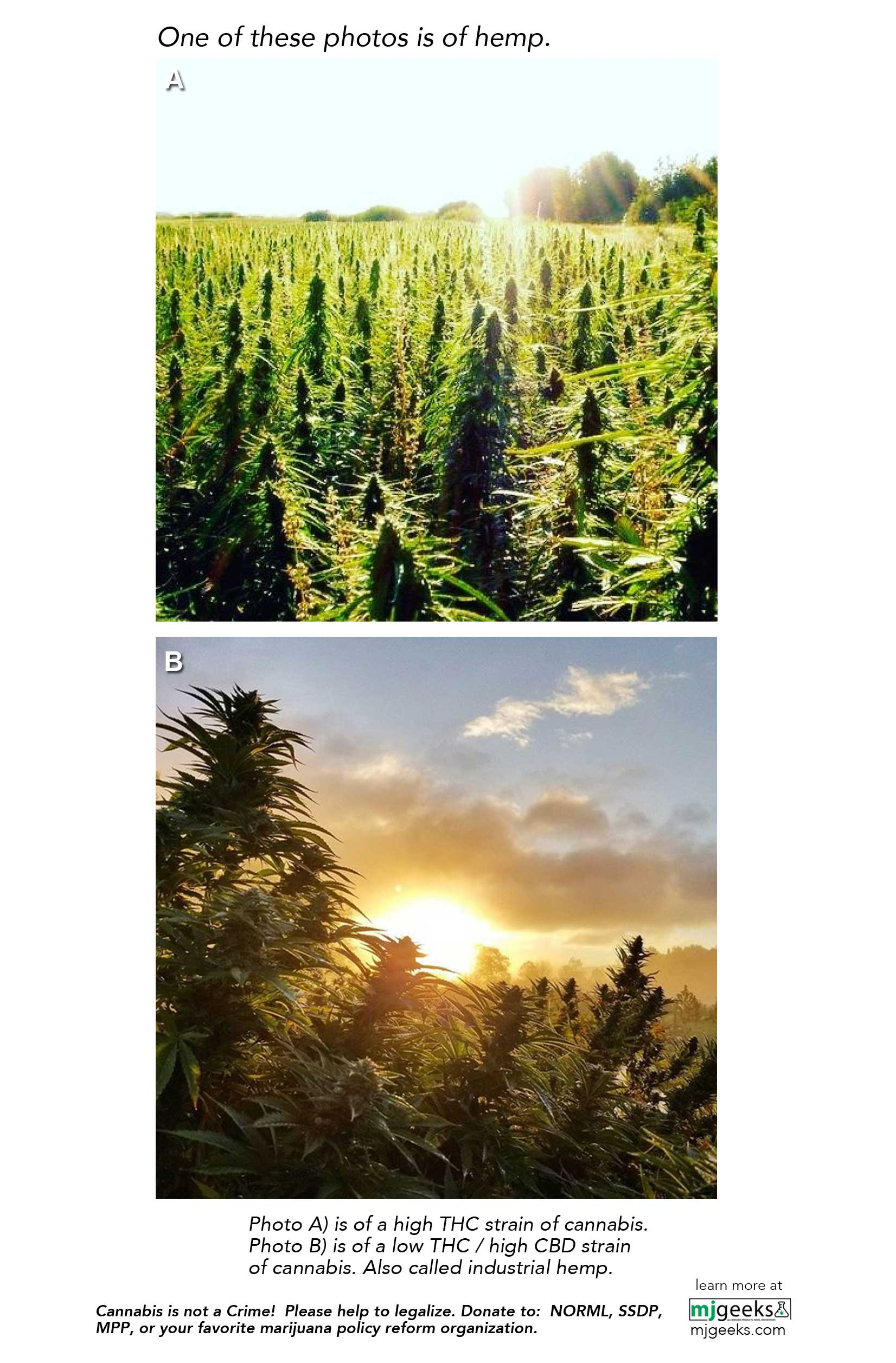 Marijuana vs Hemp and THC vs CBD