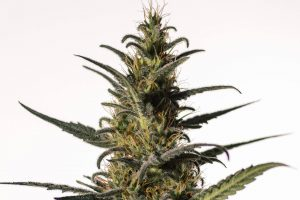 Candida Feminized Seeds - pack of 1