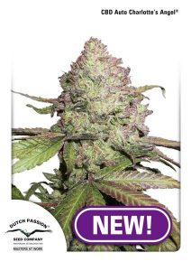 Charlotte's Angel CBD Auto Feminized Seeds - 3 pack