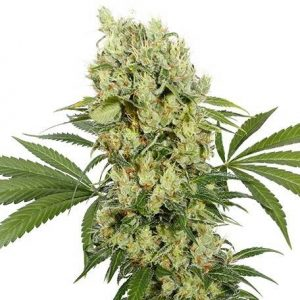 Medikit CBD Feminized Seeds - pack of 3